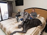 That's a big Dog...check out Giant George: http://www.dailymail.co.uk/news/article-2127960/Giant-George-Life-Worlds-Biggest-Dog-written-Dave-Nasser-7ft-Great-Danes-owner.html#ixzz1rk1DkcPR