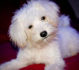 Are Maltese Poodle Mixes the Right Dogs for You?