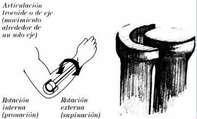 Diartrosis (TROCOIDE)
