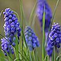 Il est une petite fleur bleue qui, avec ses délicates clochettes, annonce toujours le printemps. C'est le muscari, encore surnommé