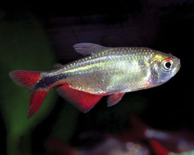 Buenos Aires Tetra Hemigrammus Caudovittatus For Sale Azgardens Com Aquarium Fish Tetra Fish Aquarium Fish Tank
