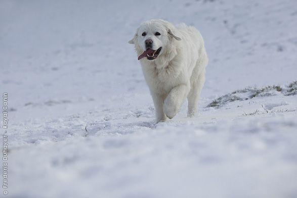 Der Tatra-Schäferhund ist ein Hüte- und Wachhund. Sein beeindruckendes Äußeres und seine Schönheit machen ihn zu einem anerkannten Begleiter. Der erste Rassestandard, der 1938 herausgegeben wurde, betonte seine Fähigkeiten, Herden zu schützen und zu verteidigen. Sein Fell erlaubt es ihm, sich auch extremen klimatischen Bedingungen anzupassen.