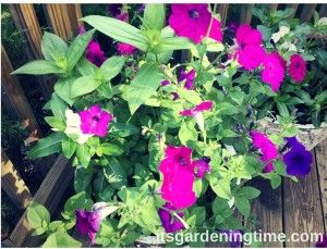 ContainerGardening is fun! We have a large container of petunias vinca and zinnia ... The petunias and vinca were free because they returned from last year. To learn How to Get Free Petunias visit http://itsgardeningtime.com/?p=901 ... To learn How to Get Free Vinca visit http://itsgardeningtime.com/?p=5713 ... We also added 2 zinnia plants for height. We sowed zinnia seeds 7 weeks ago and they are about to bloom! #zinnia #petunia #zinnias #petunias #flower #flowers #containergarden