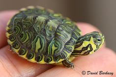 Yellow belly slider turtle grows to size of dinner plate when adult!
