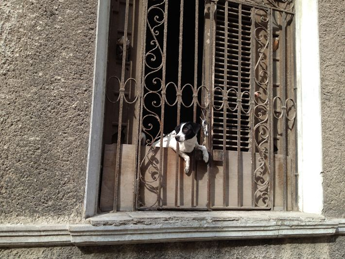 I'm your typical Cuban neighbor: I always know what's happening on my street and my hood!! ;)    #cuba  #dog