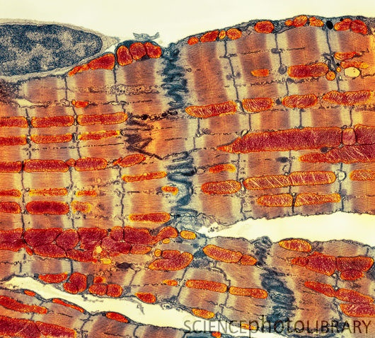 Cardiac muscle. Coloured transmission electron micrograph.