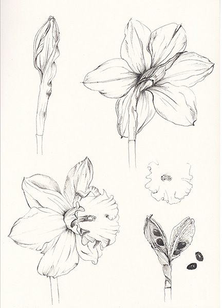 Narcissus Pseudonarcissus - ink drawing on sketchbook - by Alina Draguceanu // Narcisă - desen în peniță și cerneală pe caiet de schițe