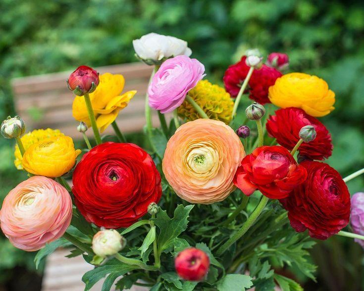 Ranunculus Bulbs Buttercups Buy Online At Farmer Gracy Uk In 2020 Summer Bulbs Summer Flowering Bulbs Ranunculus Garden