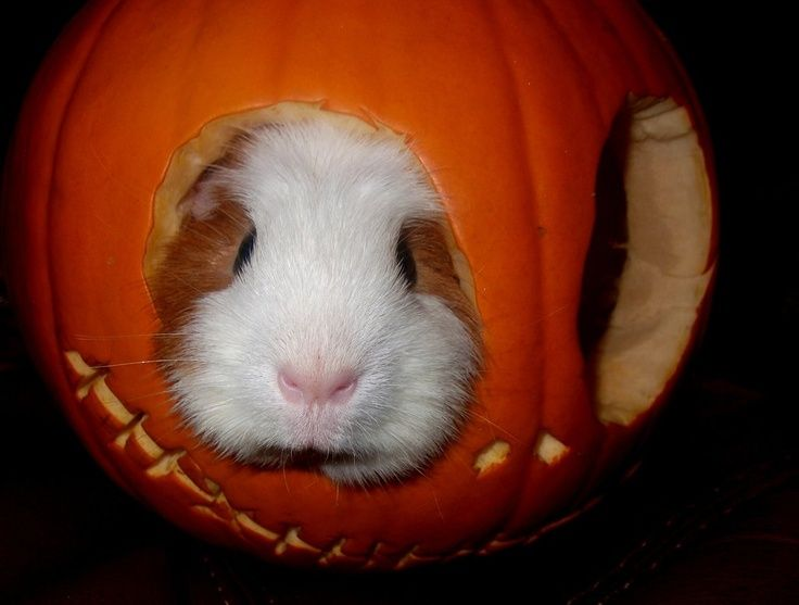 17 Best Images About Guinea Pigs On Pinterest Christmas