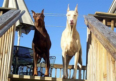 You dont see very many White Dobermans but they are cool.