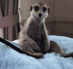 "Share this ""Sleepy Meerkat"" animated gif image with everyone. Gif4Share is best source of Funny GIFs, Cats GIFs, Dog GIFs to Share on social networks and chat."