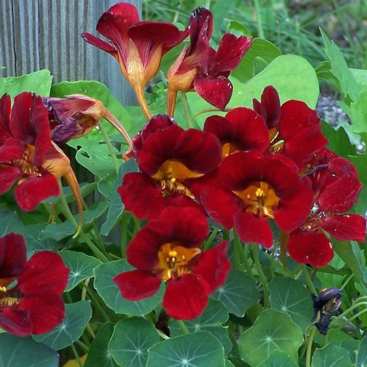 NASTURTIUM Tom Thumb Black Velvet - This compact non-trailing nasturtium has deep-red flowers that have a velvety texture and look almost black in low light. They appear in great profusion over a prolonged period and the best display is produced when they are grown in full sun.