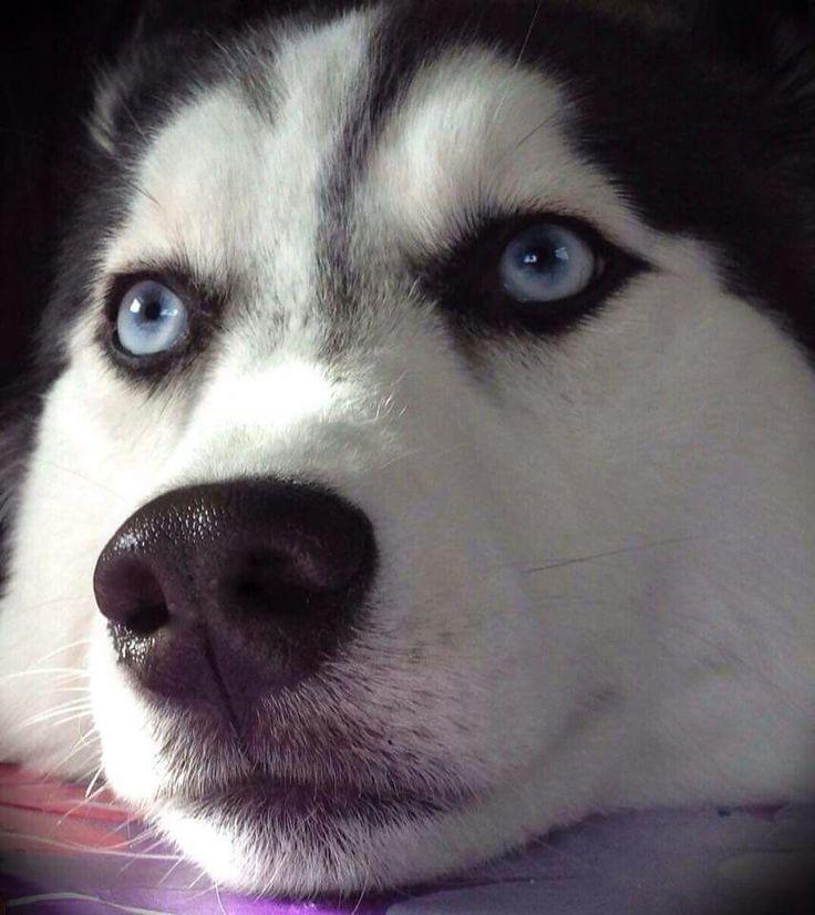 Beautiful Bella the Siberian Husky