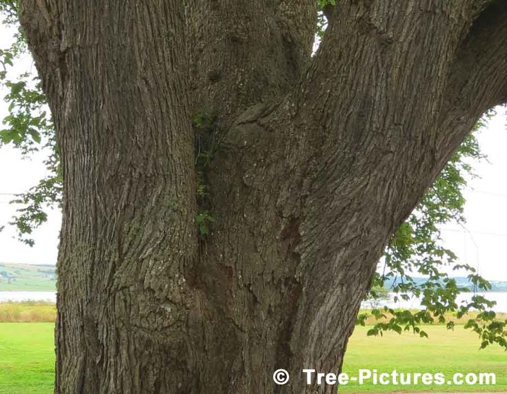 Elm Tree Bark, Photo of American Elm Trunk, Close up Identification Photo of Elm Wood, Elm Trees Bark | Elm Trees at Tree-Pictures.com