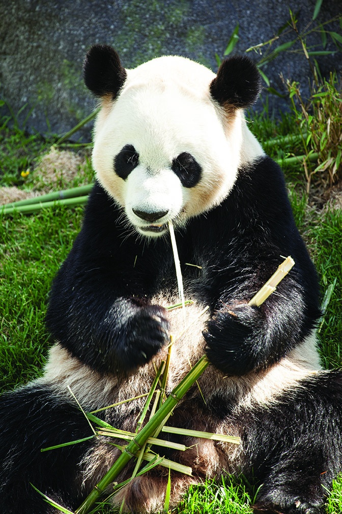 Panda Eating Bamboo ~ Best images about panda on pinterest san diego in