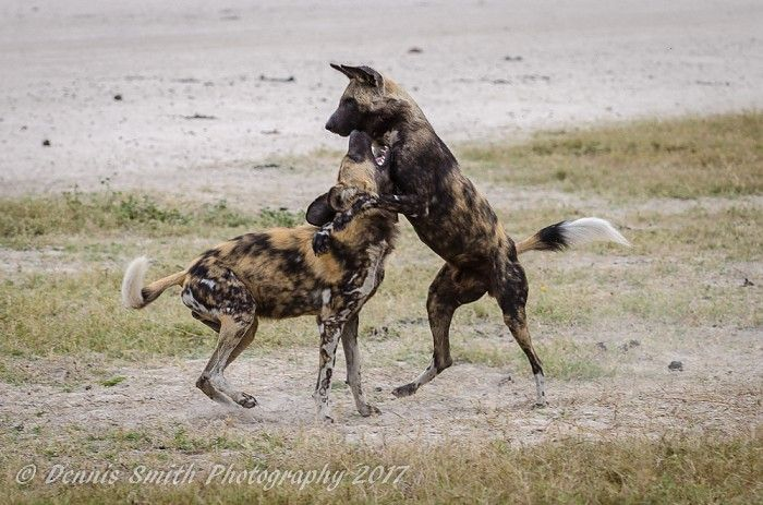 Playful wild dogs on the Jao Concession #OkavangoDelta