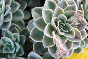 rossette vet plant