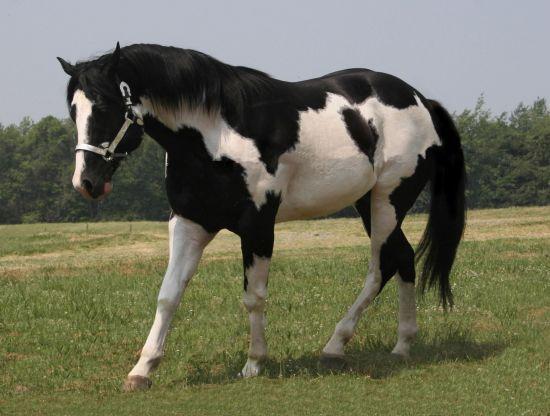 60 best paint horse images on pinterest beautiful horses. Black Bedroom Furniture Sets. Home Design Ideas