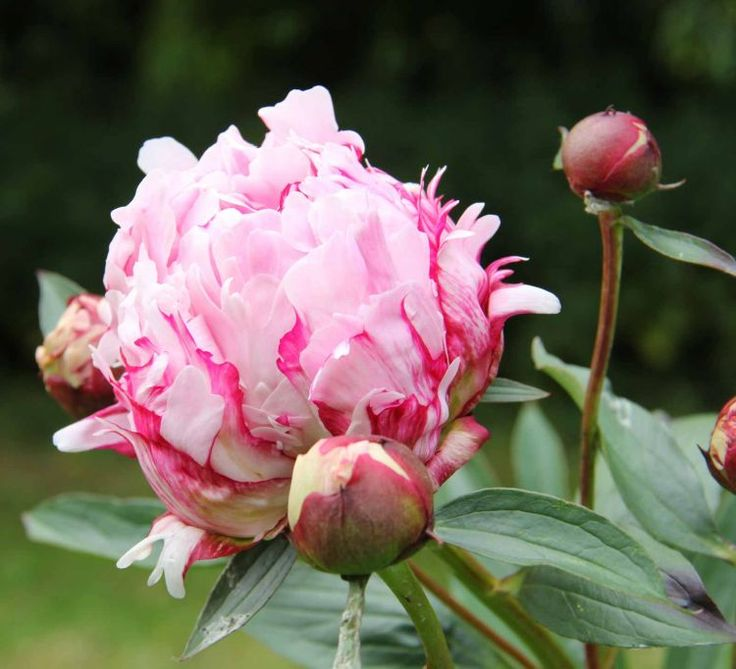 theme jade peony Theme jade peony elements of fiction assignment plot the jade peony by wayson choy is about a chinese immigrant family struggling to adapt to their new unfamiliar lifestyle in vancouver.