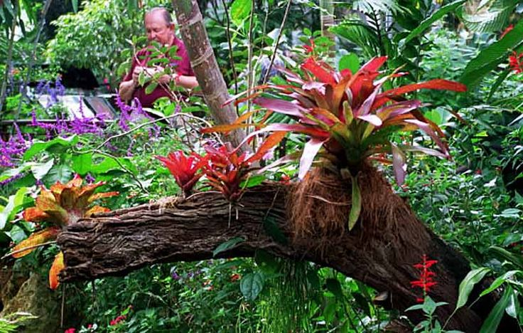 Bromeliads Growing On An Ancient Tree Trunk Sub