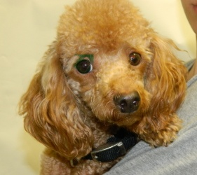 Mister is an adoptable Poodle Dog in Dallas, TX. Mister is a gorgeos (really gorgeous!) small poodle who was found at the Mesquite shelter, and who's just waiting for his family to take him to a new h...