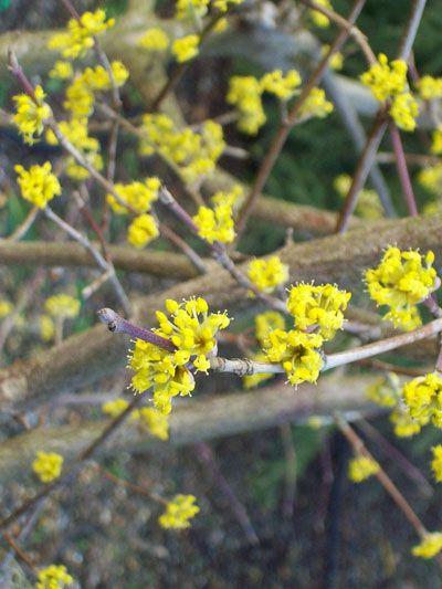 Cornus mas - An abundance of yellow flowers cover bare stems in Spring