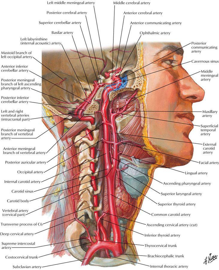 Carotid Sheath Internal Carotid Artery Ranzcrpart1 Wiki Fandom Powered By Wikia Throat Anatomy Human Body Anatomy Arteries Anatomy
