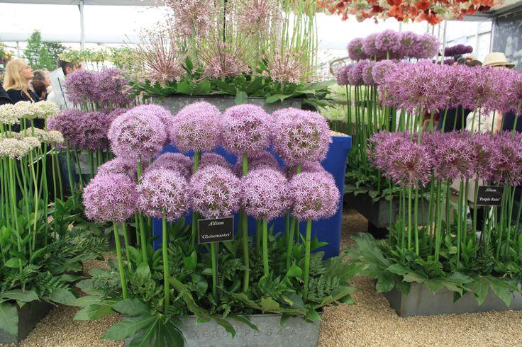 The best of Alliums