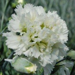 Dianthus plumarius Mrs Sinkins - Oeillet mignardise.