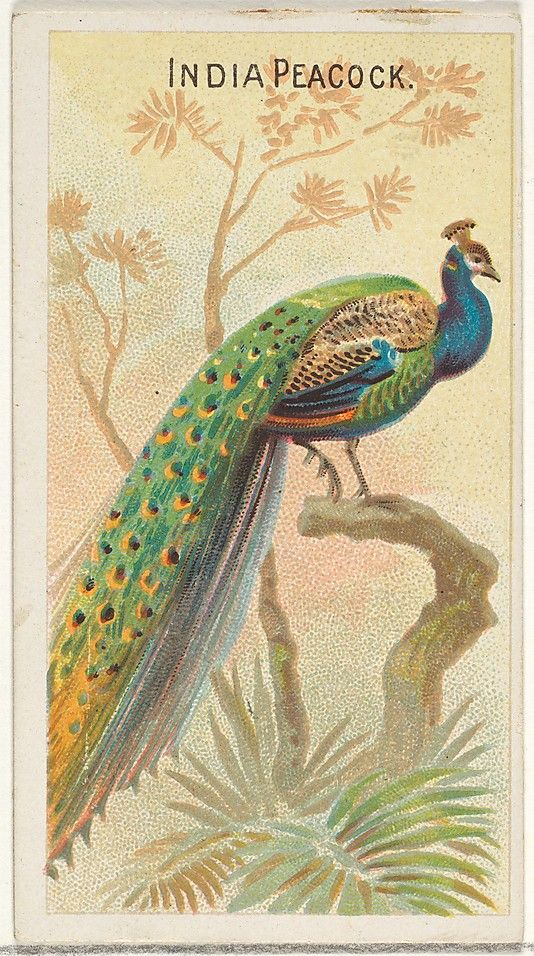 Issued by Allen & Ginter (American, Richmond, Virginia). India Peacock, from the Birds of the Tropics series (N5) for Allen & Ginter Cigarettes Brands, 1889. The Metropolitan Museum of Art, New York. The Jefferson R. Burdick Collection, Gift of Jefferson R. Burdick (63.350.201.5.47) #peacock