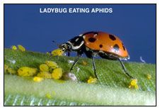 LADYBUG FACT SHEET &ReleaseInstructions  (Hippodamia convergens)  KEEP LADYBUGS REFRIGERATED (35-40°F.) UNTIL USE