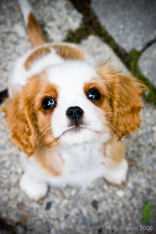 Adorable puppy eyes from this Cavalier King Charles Spaniel. Oh my gosh! so much cuteness!