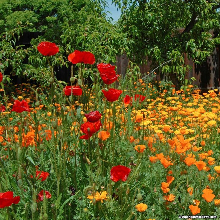 Create a long-lasting parade of blooms in your garden or meadow with our Pacific Northwest Pollinator Mix. This easy-to-grow mixture blooms all season long, year after year, providing an important source of nectar and shelter for bees, butterflies and hummingbirds. With favorites such as Blue Flax, Coreopsis and California Poppy, this low-maintenance mixture is the perfect choice for the beginner or expert gardener. All of the seed we handle at American Meadows is non-GMO, neonicotinoid-free…