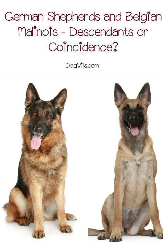 German Shepherds And Belgian Malinois Descendants Or Coincidence