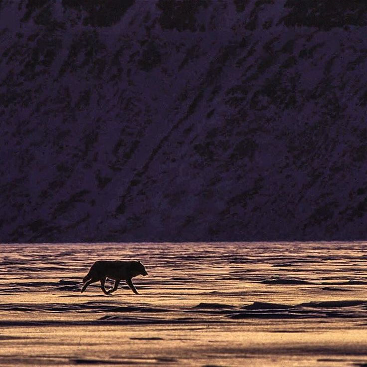 """""""A lone male Arctic wolf of the far north cruises across the sea ice near Ellesmere Island, Nunavut.  We were looking for polar bears, however we were…"""""""