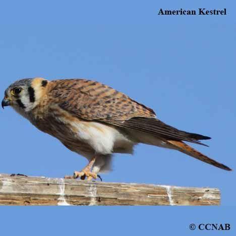 Predatory Birds of North America: Kestrel