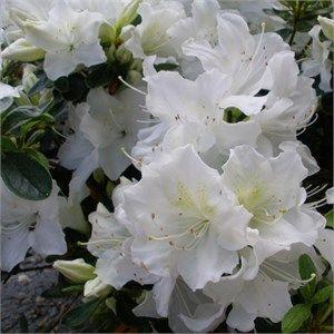 Azalea Pleasant White