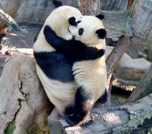 "Its a Giant Samurai Panda Hug!   OMG! 12-13-2013 Mommy Bai Yun and Lil' Wu (""Cubby""), photo by Alana Silvea"