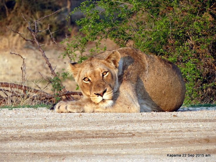 One of the females of the pride