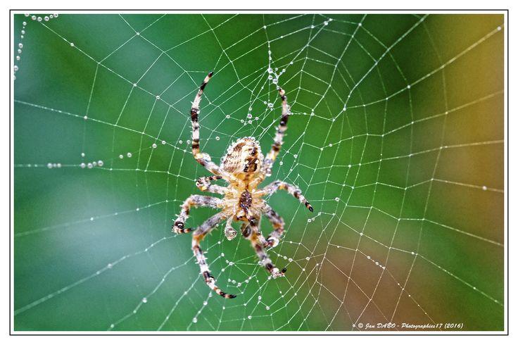 Araignée épeire dans la rosée du matin : Photos par photos-charente-maritime