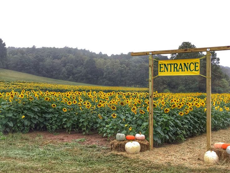 See over 900,000 sunflowers this October in Dawsonville, GA!  ✈✈✈ Don't miss your chance to win a Free Roundtrip Ticket to anywhere in the world **GIVEAWAY** ✈✈✈ https://thedecisionmoment.com/free-roundtrip-tickets-giveaway/