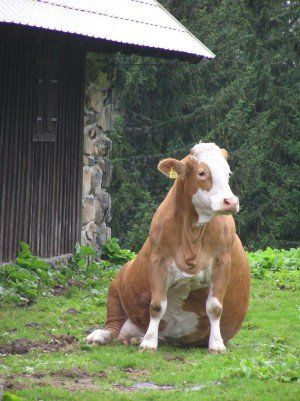 "If someone calls you a ""fat cow""... show them this picture and tell them that they sound absurd - because this is definitely not what you look like."