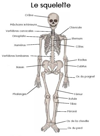 Le squelette du corps humain school for Interieur du corps humain image