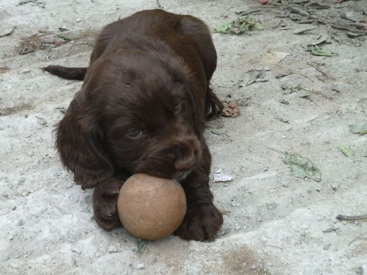 sprocker-puppies-for-sale-51ffc0872ecf7.JPG (1280×960)