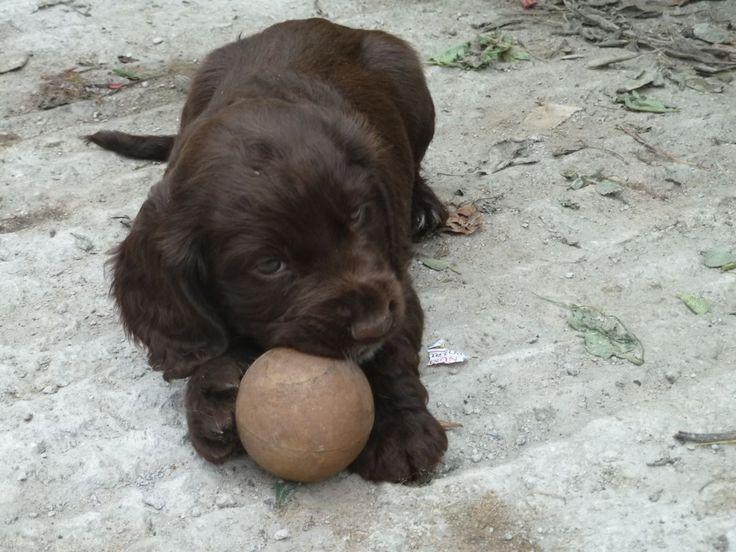 sprocker-puppies-for-sale-51ffc0872ecf7.JPG (1280×960)