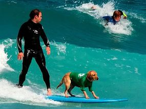 THIS is Britain's latest surfing star in action - seven-year-old labrador Mango.