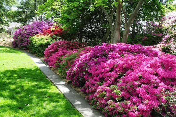 sol acide avec vinaigre pour plantes hortensia