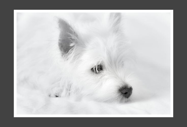 Check out Black and White Dog Photography - West Highland Terrier  - Westie Puppy- Puppy Print - Baby Animal Print - White Dog Print  in my Etsy shop today!⚡️ https://www.etsy.com/listing/221349653/black-and-white-dog-photography-west?utm_campaign=crowdfire&utm_content=crowdfire&utm_medium=social&utm_source=pinterest