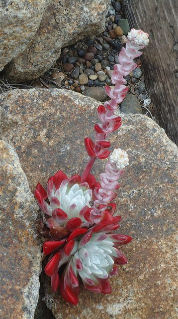 Dudleya farinosa is native to the coastline of parts of Oregon and northern California, where it is commonly found on bluffs and coastal hillsides.