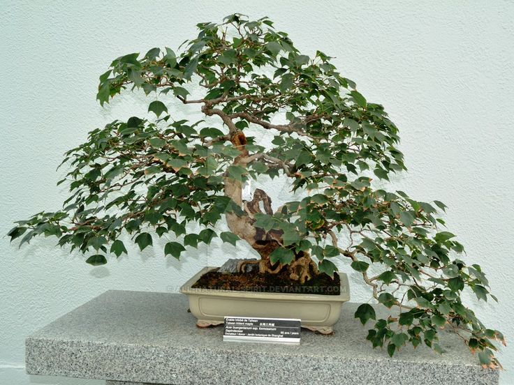 Taiwan Trident Maple Bonsai by All-Natural-Spirit.deviantart.com on @DeviantArt